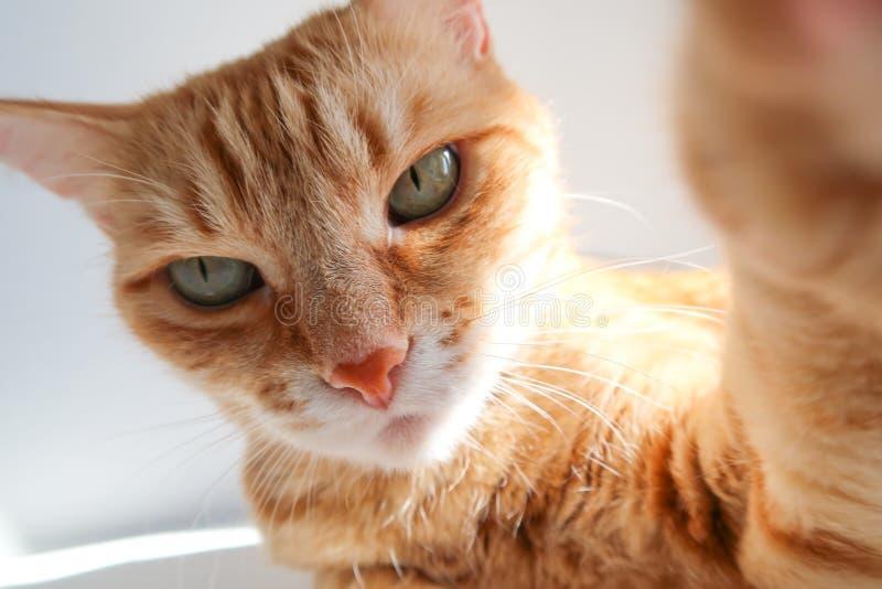 Gatto dello zenzero che prende un colpo del selfie e che guarda seriamente Gatto sveglio con gli occhi verdi immagini stock