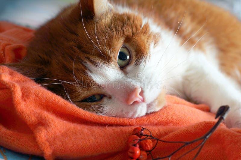 Gatto dello zenzero che si trova sulla coperta arancio con le bacche di sorbo fotografie stock