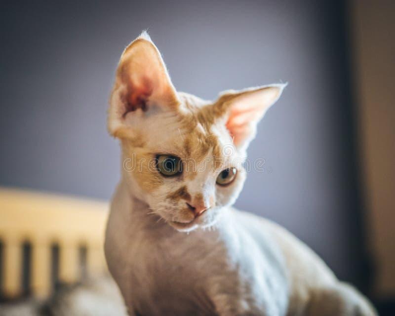 Gatto - Devon Rex immagine stock libera da diritti