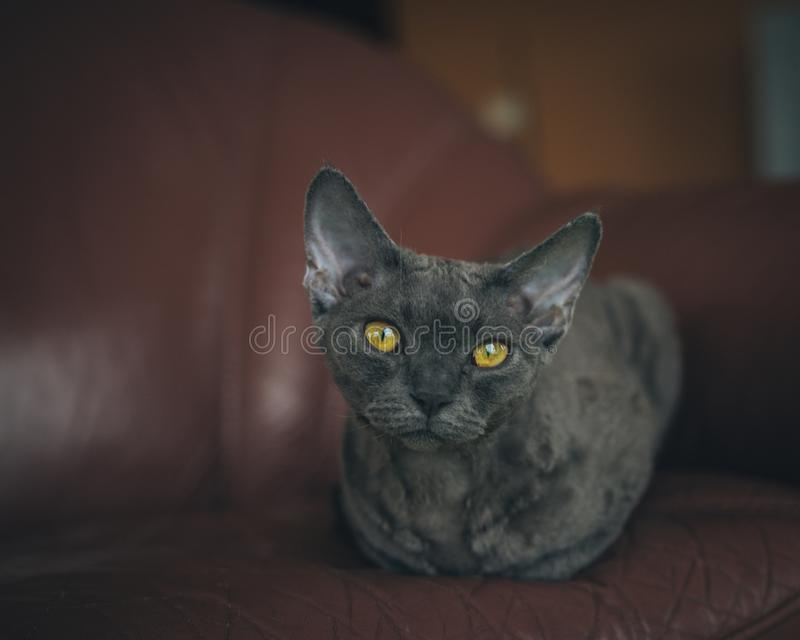 Gatto - Devon Rex fotografia stock