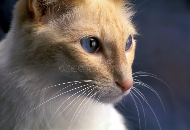 Gatto di balinese fotografia stock libera da diritti