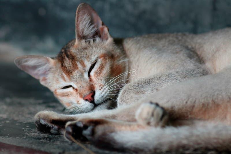 Gatto di bella addormentata in bianco e nero fotografia stock libera da diritti