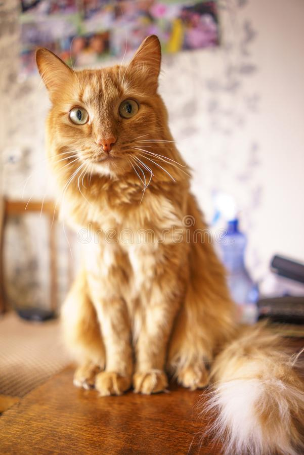 Gatto di Brown, Tabby Male Cat rossa, Ginger Cat fotografie stock libere da diritti