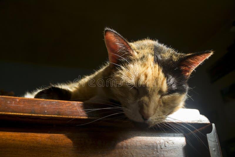 Gatto di calicò in sole fotografia stock