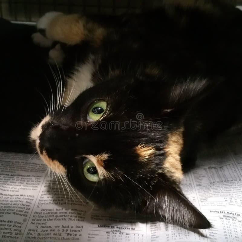 Gatto di calicò sveglio fotografie stock