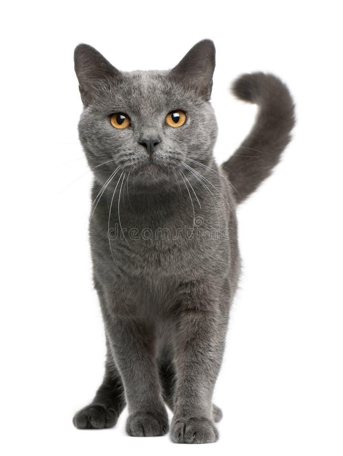 Gatto di Chartreux, 16 mesi, levantesi in piedi fotografie stock