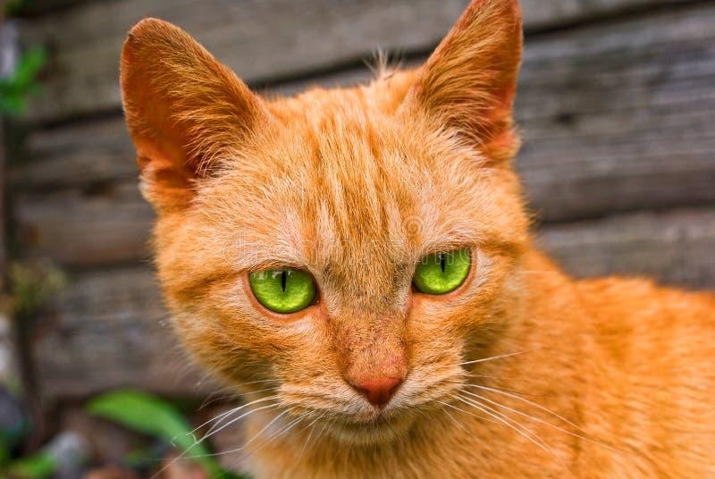 Gatto di colore rosso dell'occhio verde fotografia stock libera da diritti