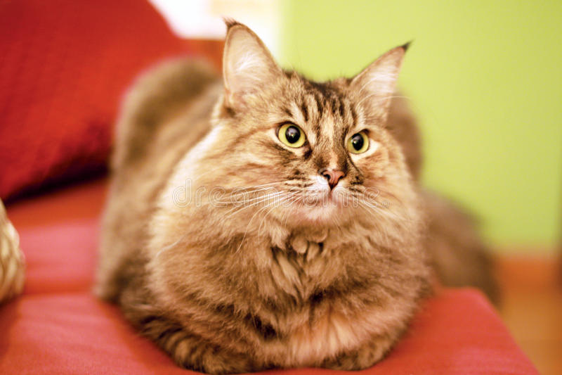 Download Gatto di Coon della Maine immagine stock. Immagine di coon - 55360915