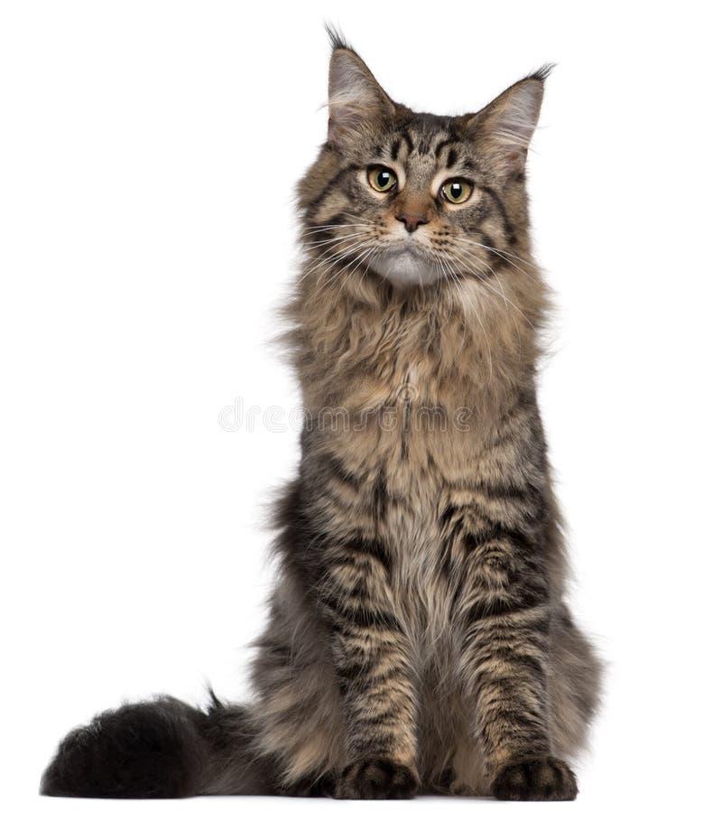 Gatto di Coon della Maine, 7 mesi, sedentesi fotografia stock libera da diritti