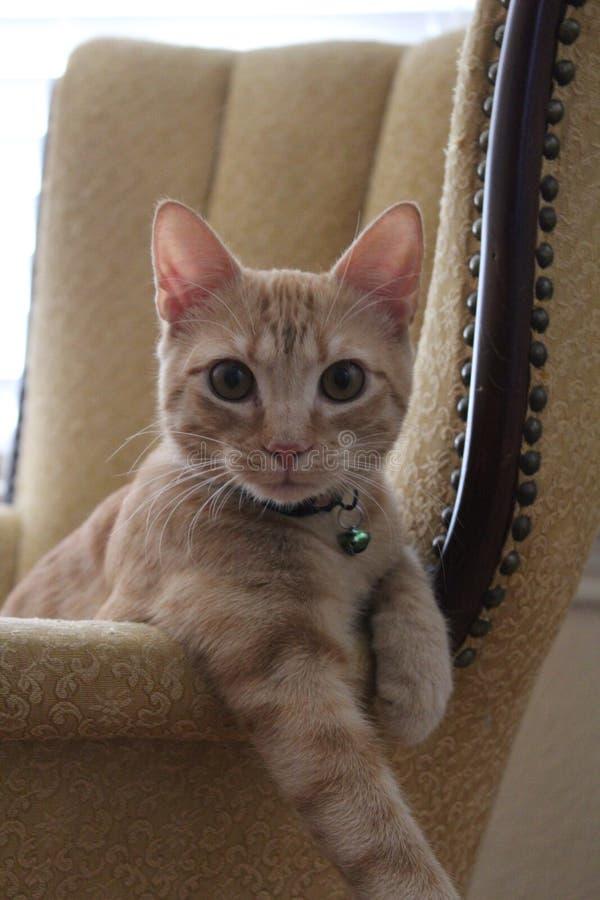 Gatto di Curoius fotografia stock libera da diritti