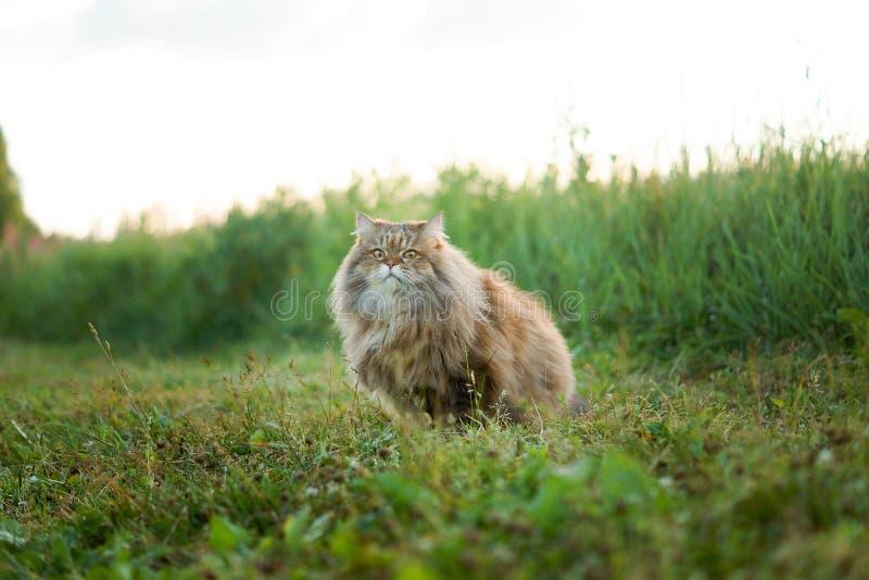 Gatto di estate su erba verde fotografia stock