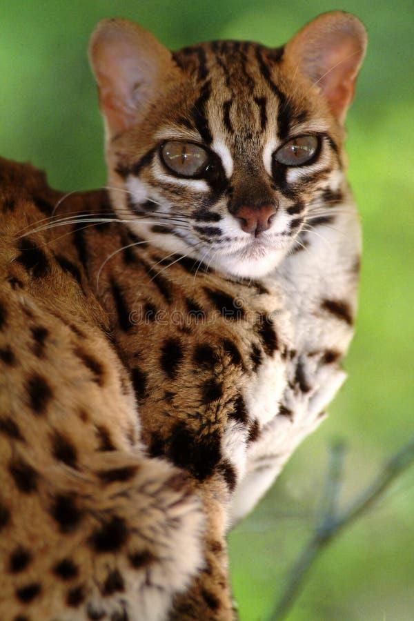 Gatto di leopardo, Felis Bengalennsis, Sarawak, Malesia fotografia stock