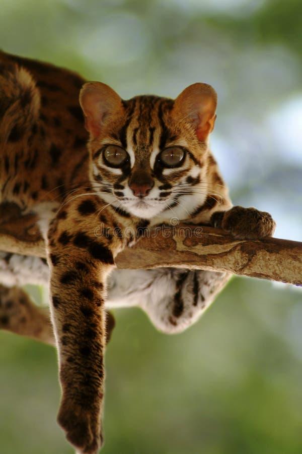Gatto di leopardo, Felis Bengalennsis, Sarawak, Malesia fotografie stock