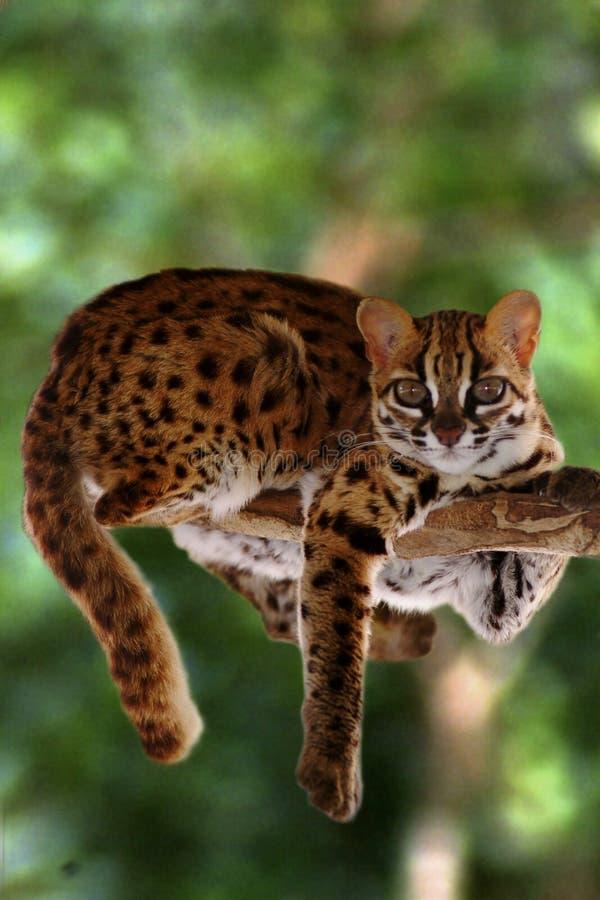 Gatto di leopardo, Felis Bengalennsis, Sarawak, Malesia immagine stock libera da diritti