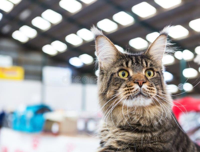 Gatto di Maine Coon fotografia stock libera da diritti