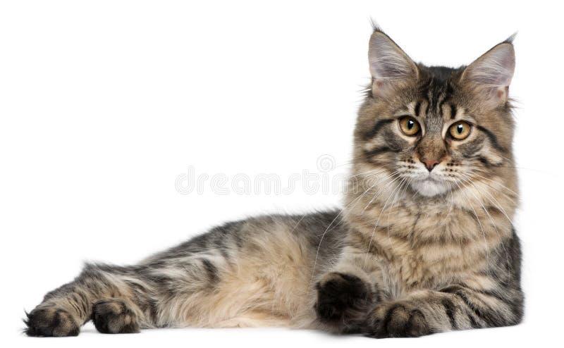 Gatto di Maine Coon, 9 mesi immagini stock