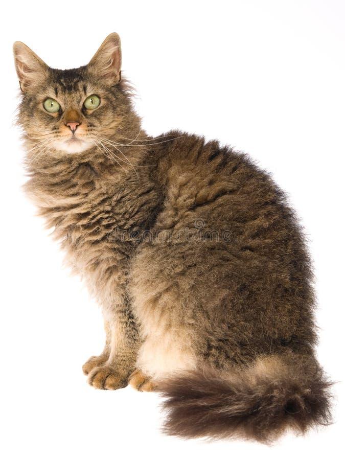 Gatto di Perm della La che si siede sulla priorità bassa bianca fotografia stock libera da diritti
