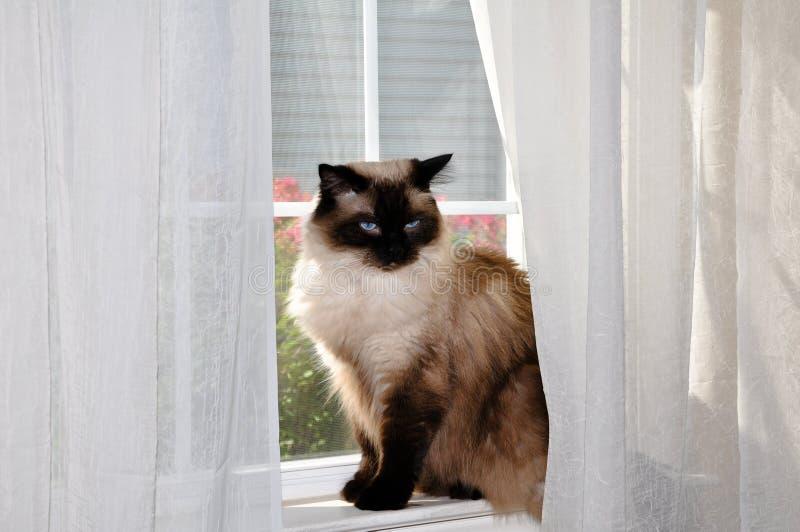 Gatto di Ragdoll che si siede nella finestra. immagini stock