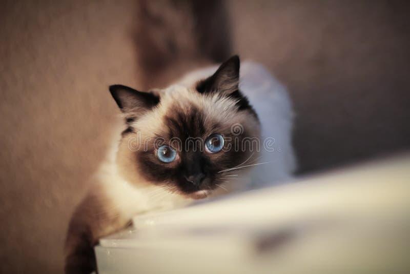 Gatto di Ragdoll con gli occhi azzurri immagini stock libere da diritti
