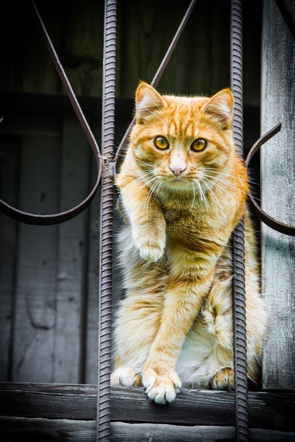 Gatto di Ryzhy, fotografato 20/08/14 fotografia stock libera da diritti