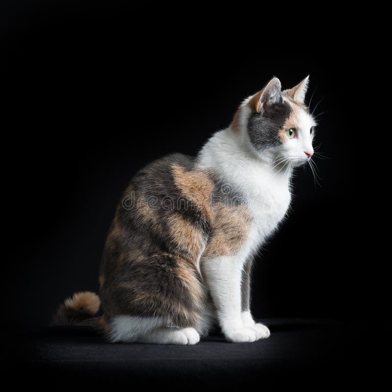 Gatto di Shorthair dell'europeo che si siede nel fondo nero immagine stock