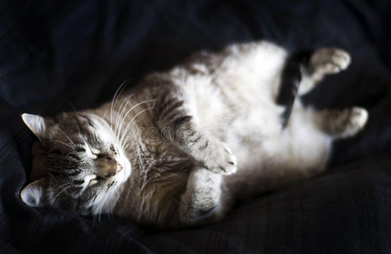 Gatto di sonno immagini stock libere da diritti