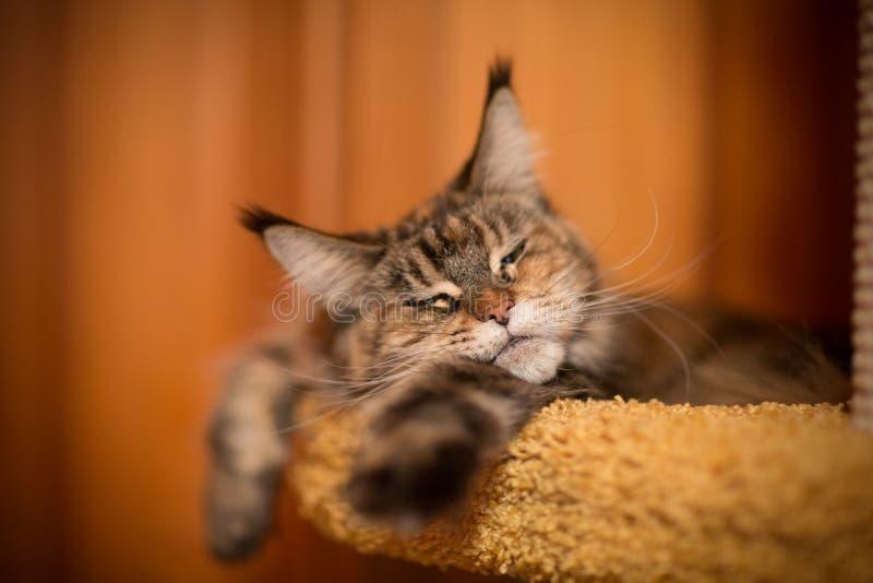 Gatto di sonno del procione lavatore di Maine immagini stock libere da diritti