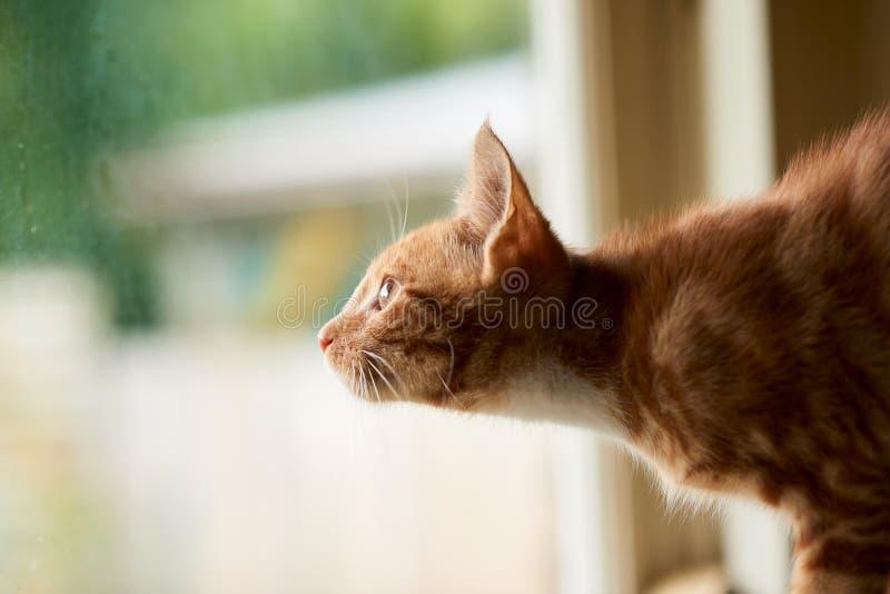 Gatto di soriano adorabile dello zenzero rosso che guarda fuori una finestra con l'eccitazione e la meraviglia immagini stock libere da diritti