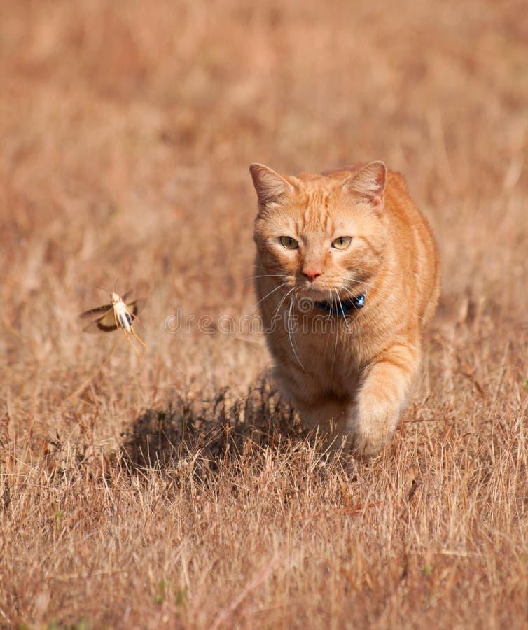 Gatto di soriano arancio che cerca una cavalletta in volo fotografia stock libera da diritti