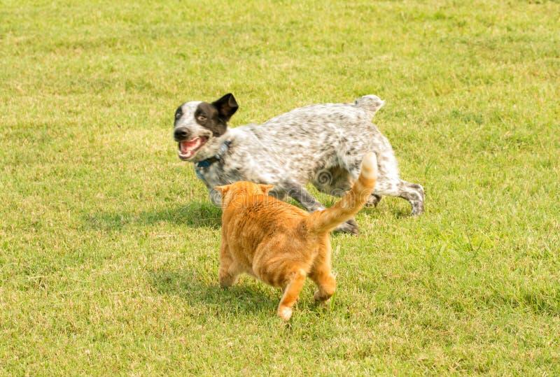 Gatto di soriano arancio che fa un gesto minaccioso ad un cane macchiato fotografie stock libere da diritti