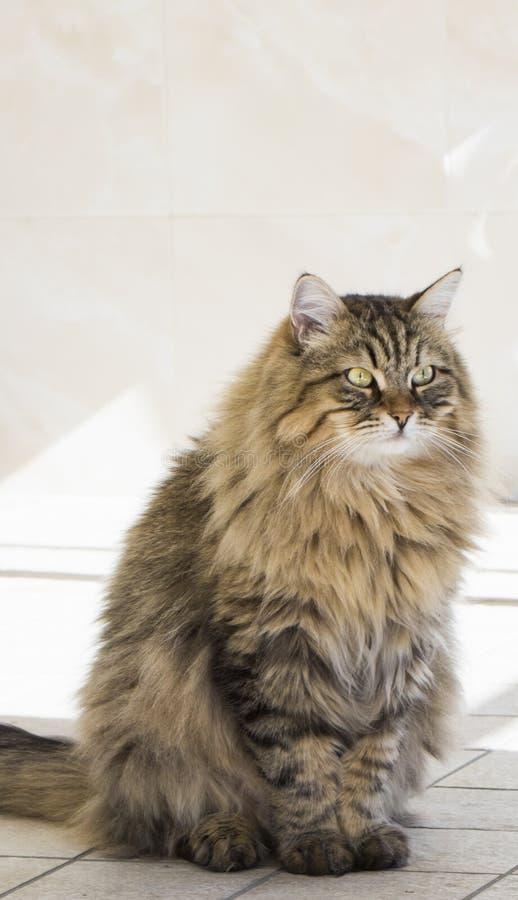 Gatto di soriano di Brown che si siede nella casa maschio di razza siberiano fotografia stock