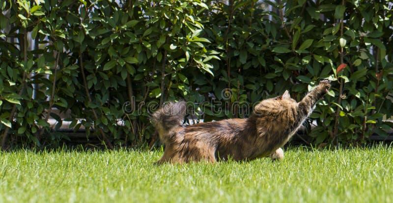 Gatto di soriano di Brown nel giardino, camminata femminile della razza siberiana sul verde di erba che insegue una farfalla fotografie stock libere da diritti