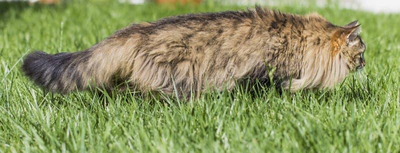 Gatto di soriano di Brown nel giardino, maschio siberiano della razza che cammina sul verde di erba immagine stock