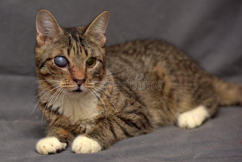 Gatto di soriano con le cataratte nell'occhio fotografia stock