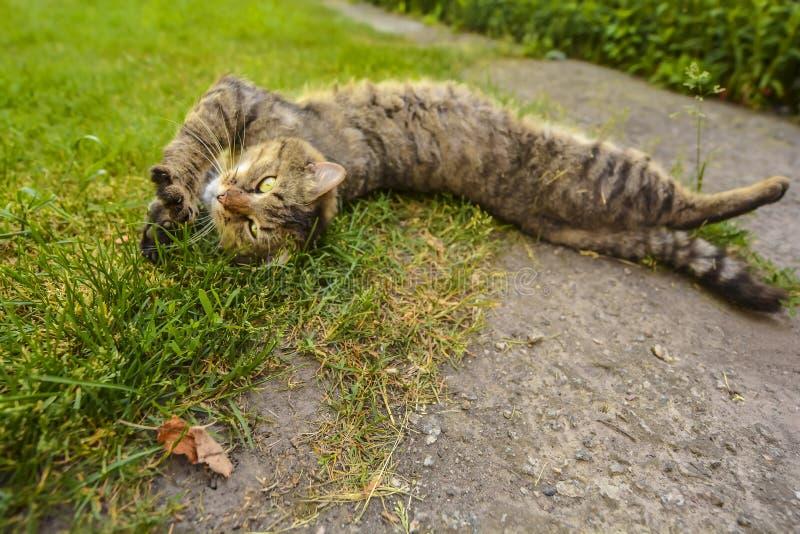 Gatto di soriano disteso fotografia stock