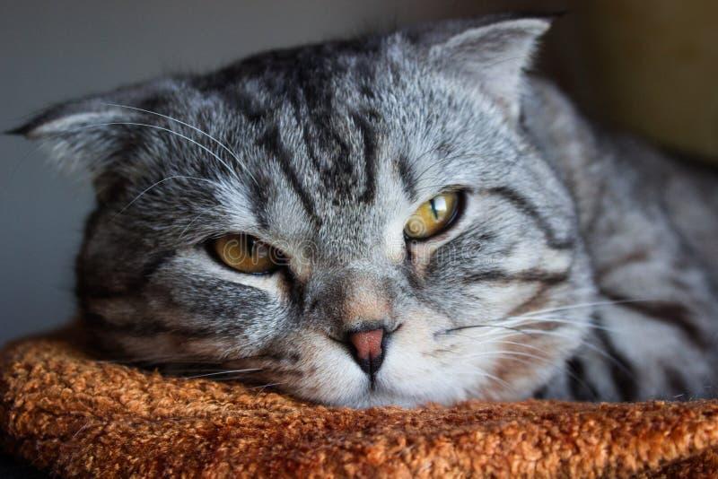 Gatto di soriano grigio del bello popolare scozzese con le bande bianche immagine stock