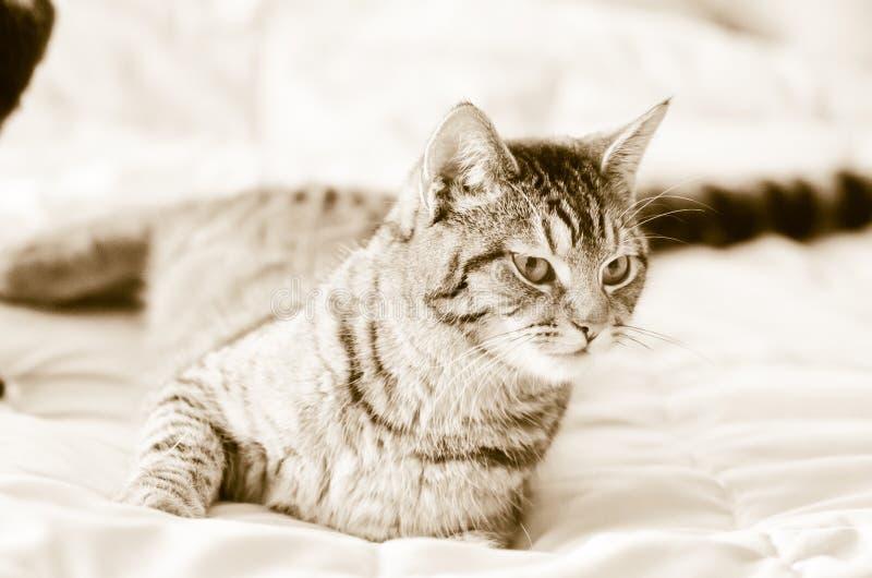 Gatto di soriano grigio di seppia sul letto immagini stock