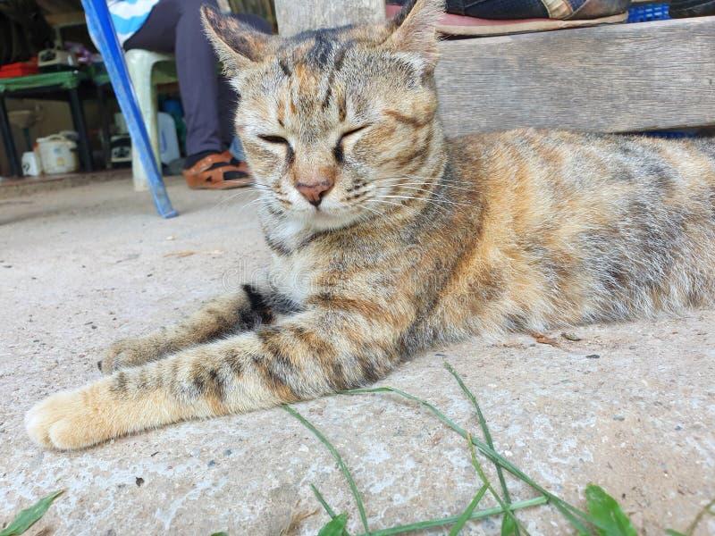 Gatto di soriano grigio sul pavimento che risiede in Tailandia fotografia stock
