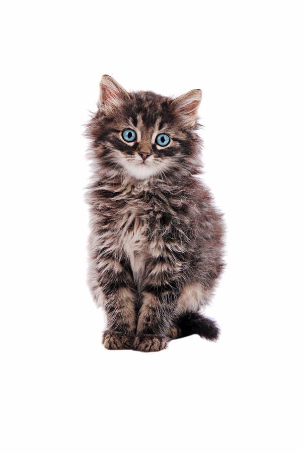 Gatto di soriano lanuginoso adorabile fotografie stock