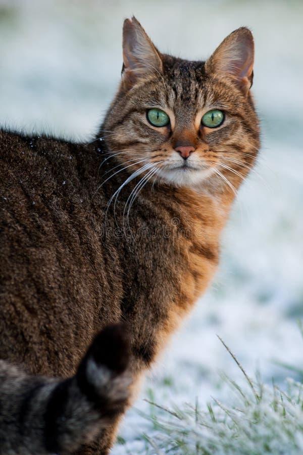 Gatto di soriano in neve fotografia stock