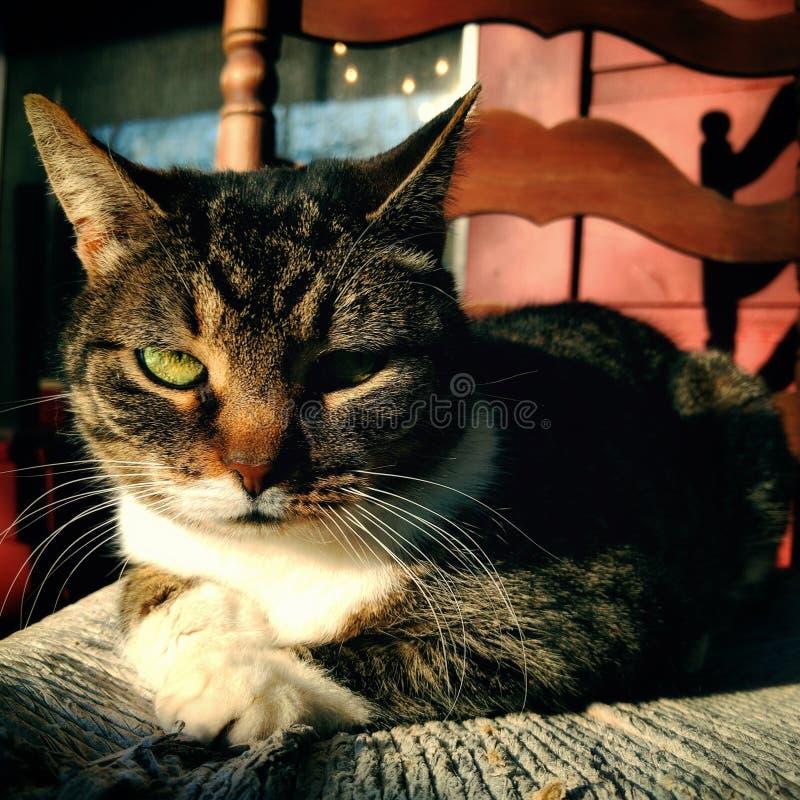 Gatto di soriano serio immagini stock