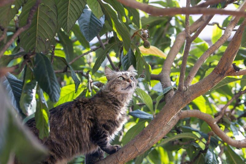 Gatto di soriano smarrito sull'albero del locquat che cerca con attenzione preda immagine stock