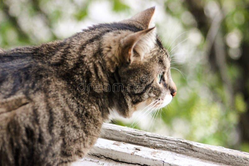 Gatto di soriano a strisce e grigio che si siede sui precedenti verdi sulla finestra fotografia stock
