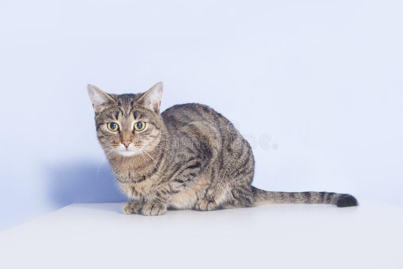 Gatto di soriano sulla tavola immagine stock libera da diritti