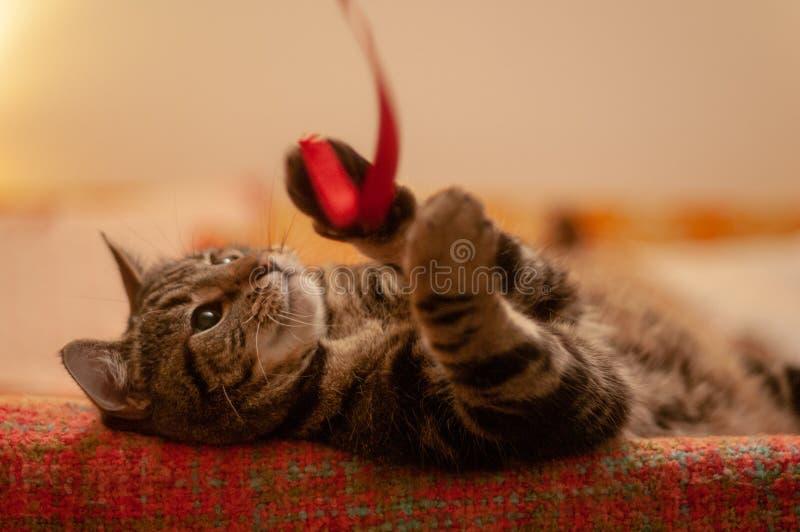Gatto di soriano sveglio che gioca con un nastro rosso immagine stock libera da diritti