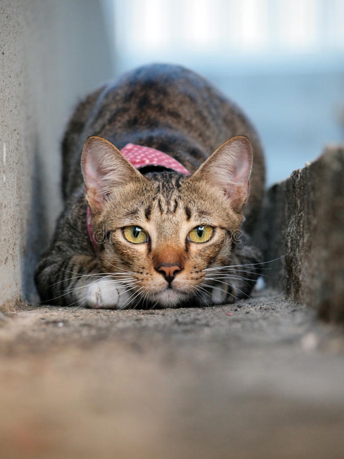Gatto di soriano sveglio che si accovaccia e che fissa a noi immagini stock libere da diritti