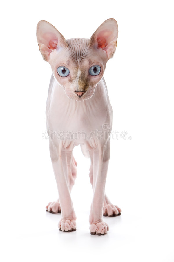 Gatto di Sphynx fotografia stock libera da diritti
