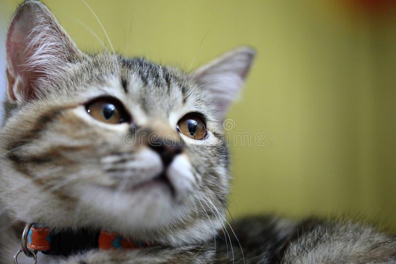 Gatto di Tabby che esamina la macchina fotografica immagine stock libera da diritti