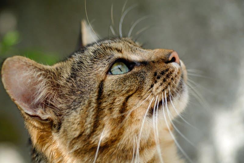 Gatto di Tabby che esamina la macchina fotografica immagine stock