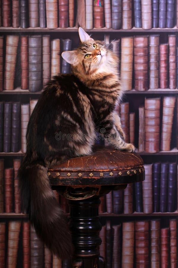 Gatto di Tabby Maine Coon fotografie stock